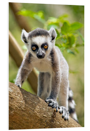 Foam board print  Baby Ring-tailed lemur - Gallo Images