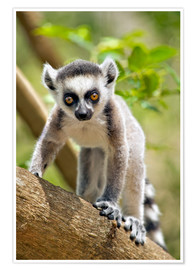 Premium poster  Baby Ring-tailed lemur - Gallo Images