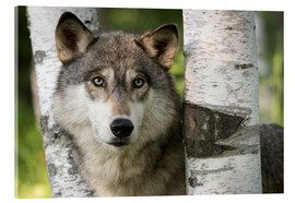 Acrylic print  Gray wolf between birches - Jaynes Gallery