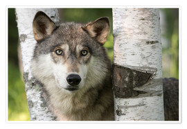 Premium poster Gray wolf between birches