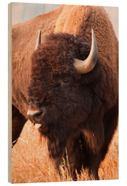 Wood print  Bison grazing - Larry Ditto