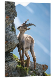 Foam board print  Young alpine ibex - Peter Wey
