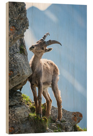 Wood print  Young alpine ibex - Peter Wey