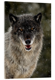 Acrylic print  Wolf in the snow - James Hager