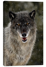 Canvas print  Wolf in the snow - James Hager