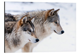 Alu-Dibond  Two Timber Wolves in the snow - Louise Murray