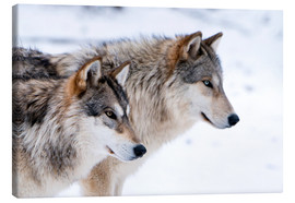 Canvas print  Two Wolves in the snow - Louise Murray