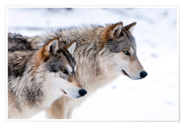 Poster  Two Timber Wolves in the snow - Louise Murray
