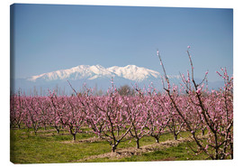 Canvas print  Fruit blossom, Mont Canigou - Mark Mawson
