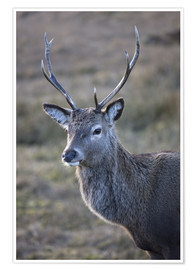 Poster Red deer stag, Rannoch Moor, near Fort William, Highland, Scotland, United Kingdom, Europe