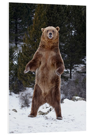 Foam board print  Grizzly Bear standing in the snow - James Hager