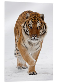 Acrylic glass  Siberian Tiger in the snow - James Hager