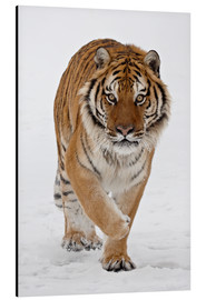 James Hager - Siberian Tiger in the snow
