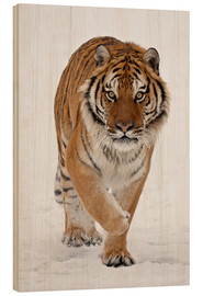 Wood  Siberian Tiger in the snow - James Hager