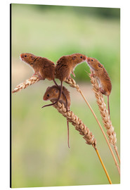 Aluminium print  Harvest mice (Micromys minutus), captive, United Kingdom, Europe - Ann & Steve Toon