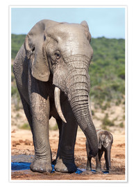 Premium poster  African elephants (Loxodonta africana) adult and baby, Addo National Park, Eastern Cape, South Afric - Ann & Steve Toon