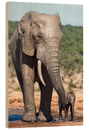 Wood print  African elephants (Loxodonta africana) adult and baby, Addo National Park, Eastern Cape, South Afric - Ann & Steve Toon