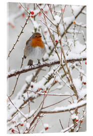 Acrylic print  Robin, with berries in snow - Ann & Steve Toon