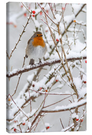 Canvas  Robin, with berries in snow - Ann & Steve Toon