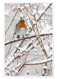 Premium poster Robin, with berries in snow
