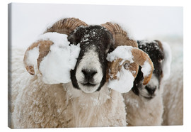 Canvas print  Northumberland blackface sheep in snow, Tarset, Hexham, Northumberland, UK - Ann & Steve Toon