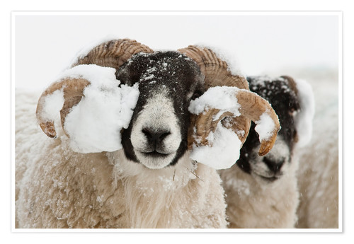 Premium poster Northumberland blackface sheep in snow, Tarset, Hexham, Northumberland, UK
