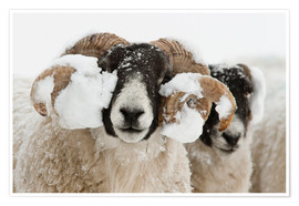 Premium poster  Northumberland blackface sheep in snow, Tarset, Hexham, Northumberland, UK - Ann & Steve Toon