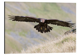 Alu-Dibond  Golden eagle, Aquila chrysaetos, flying over moorland, captive, UK - Ann & Steve Toon