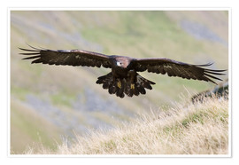 Premium poster  Golden eagle, Aquila chrysaetos, flying over moorland, captive, UK - Ann & Steve Toon