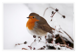 Premium poster Robin in winter