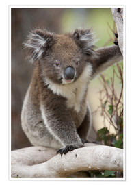 Premium poster  Koala in eucalyptus tree - Thorsten Milse