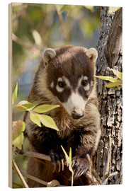 Wood print  White-nosed coati - James Hager
