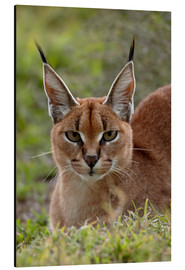 Aluminium print  Caracal - James Hager
