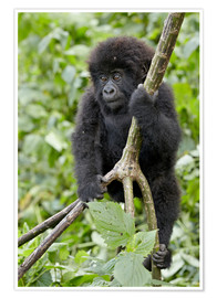 Premium poster  Infant mountain gorilla (Gorilla gorilla beringei) from the Kwitonda group climbing a vine, Volcanoe - James Hager