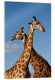 Acrylic print  Two male Cape giraffe (Giraffa camelopardalis giraffa), Imfolozi Game Reserve, South Africa, Africa - James Hager