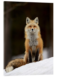 Acrylic print  Red Fox (Vulpes vulpes) (Vulpes fulva) in the snow, Grand Teton National Park, Wyoming, United State - James Hager