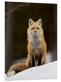 Foam board print  Red Fox (Vulpes vulpes) (Vulpes fulva) in the snow, Grand Teton National Park, Wyoming, United State - James Hager