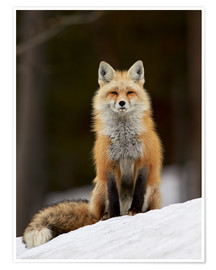 Premium poster  Red Fox (Vulpes vulpes) (Vulpes fulva) in the snow, Grand Teton National Park, Wyoming, United State - James Hager