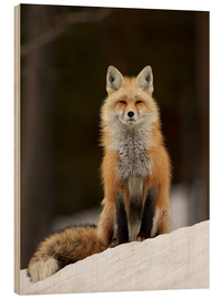Wood print  Red Fox (Vulpes vulpes) (Vulpes fulva) in the snow, Grand Teton National Park, Wyoming, United State - James Hager