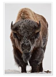 Premium poster  Bison in winter - James Hager