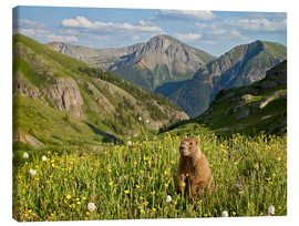 Canvas print  Yellow-bellied marmot - James Hager