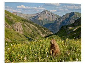 Foam board print  Yellow-bellied marmot - James Hager