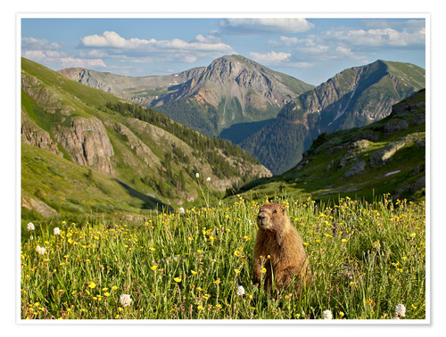 Premium poster Yellow-bellied marmot