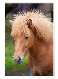 Premium poster Light brown Icelandic horse