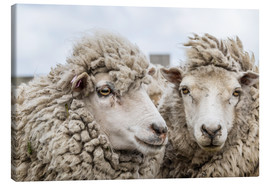 Canvas print  Sheep waiting to be shorn, Falkland Islands - Michael Nolan