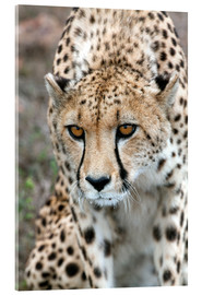 Acrylic print  Cheetah on foray, South Africa - Fiona Ayerst