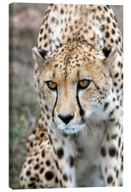 Canvas  Cheetah on foray, South Africa - Fiona Ayerst