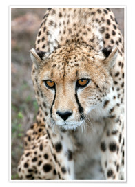 Poster  Cheetah on foray, South Africa - Fiona Ayerst