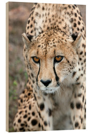 Wood print  Cheetah on foray, South Africa - Fiona Ayerst