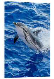 Acrylic glass  Adult striped dolphin - Michael Nolan